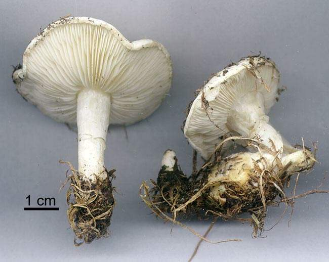 Calocybe constricta