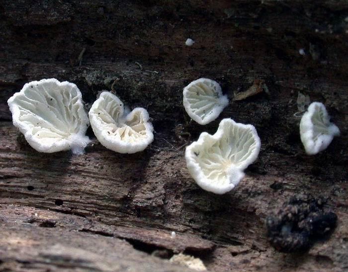 Cheimonophyllum candidissimum