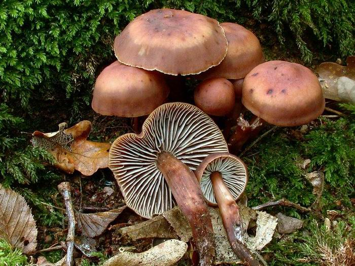 Collybia fusipes