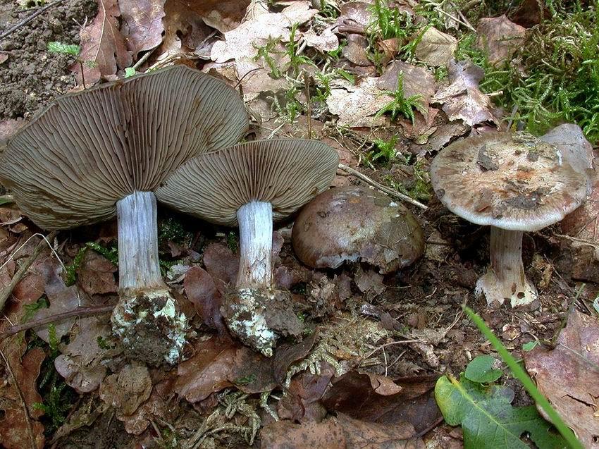 Cortinarius subvirentophyllus
