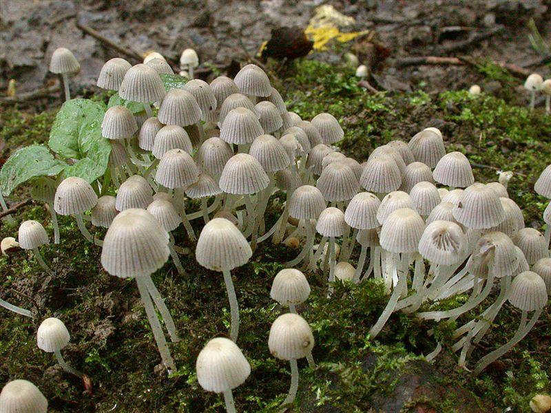 Coprinus disseminatus