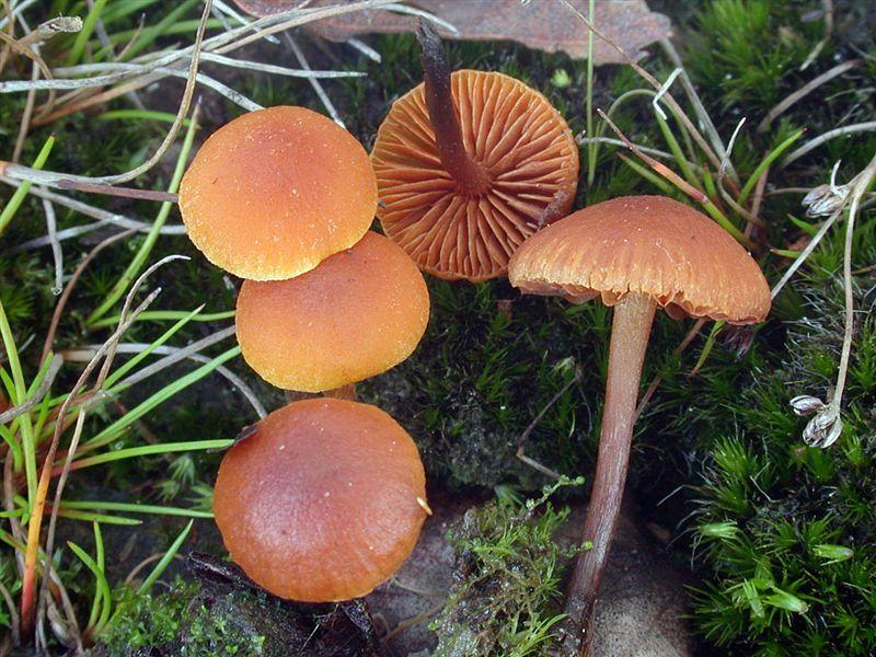 Gymnopilus fulgens