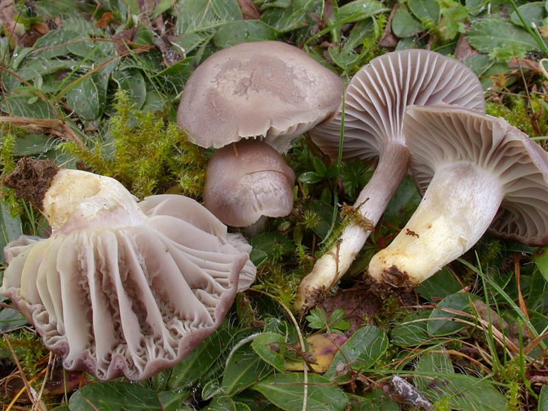 Hygrocybe flavipes