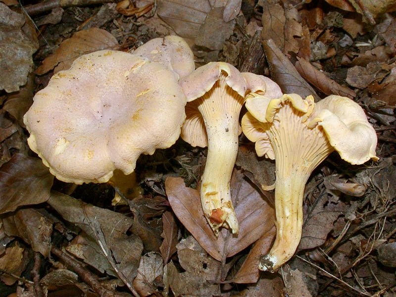 Cantharellus amethysteus