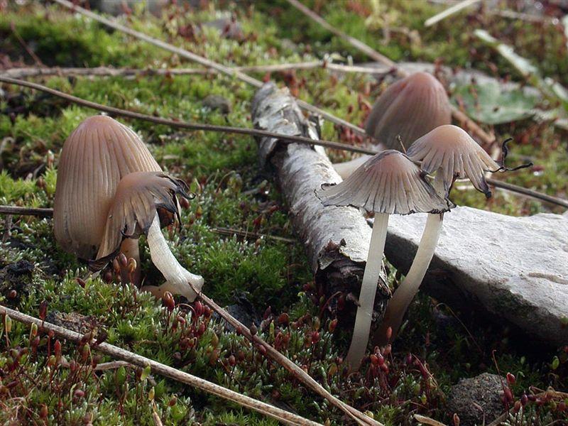 Coprinus angulatus
