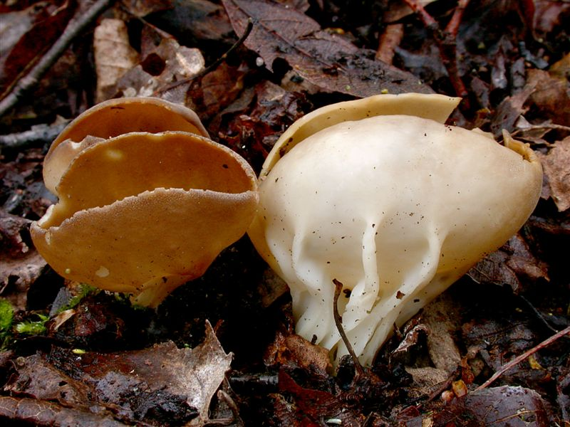 Helvella acetabulum