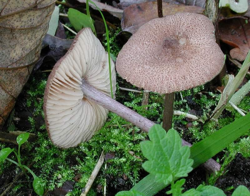 Entoloma griseocyaneum