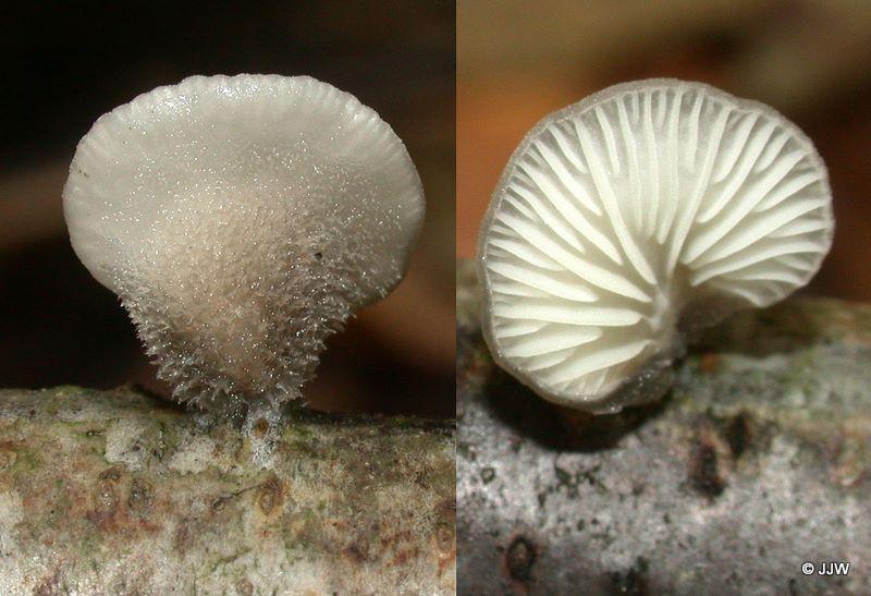 Hohenbuehelia fluxilis